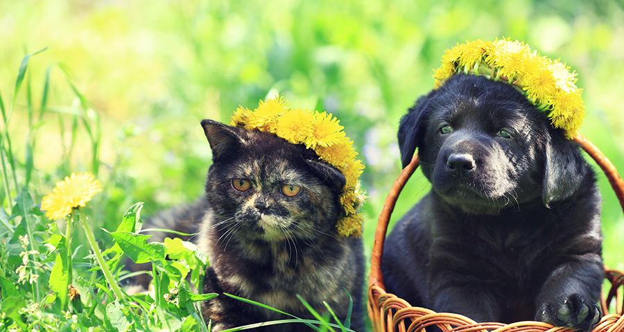 Do Labradors Get Along With Cats Great Tips Animals Hq