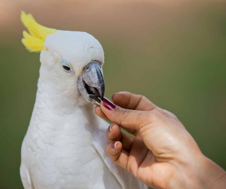 Can a Cockatoo Bite Your Finger Off? (Explained!) - Animals HQ - photo#30