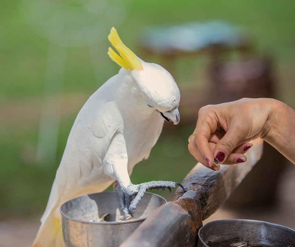 Can a Cockatoo Bite Your Finger Off? (Explained!) - Animals HQ - photo#28