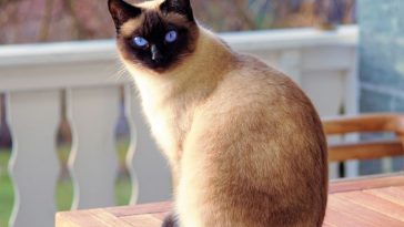 Are Siamese Cats Good Pets