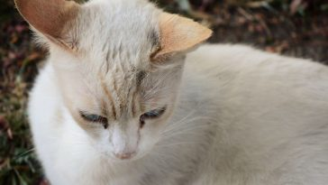 Flame Point Siamese Cat Personality